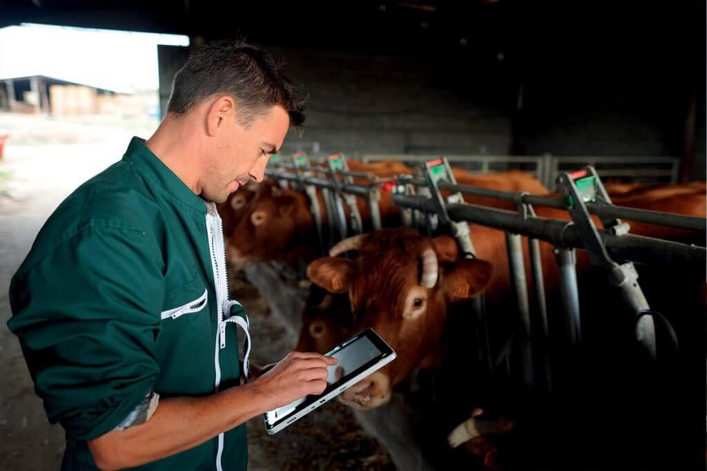 Allevamento bovini da carne